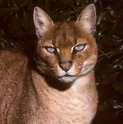 Kočka zlatá (Profelis aurata).