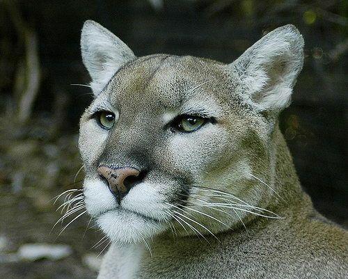 Puma nebo puma (Puma concolor).