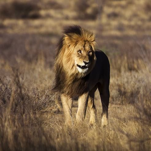 Lev (Panthera leo).