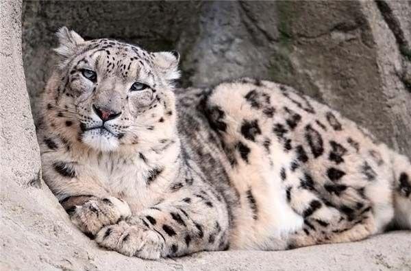 Snow Leopard nebo unce (Uncia uncia).