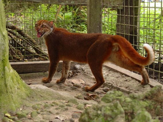 Bay cat (Catopuma Badia).