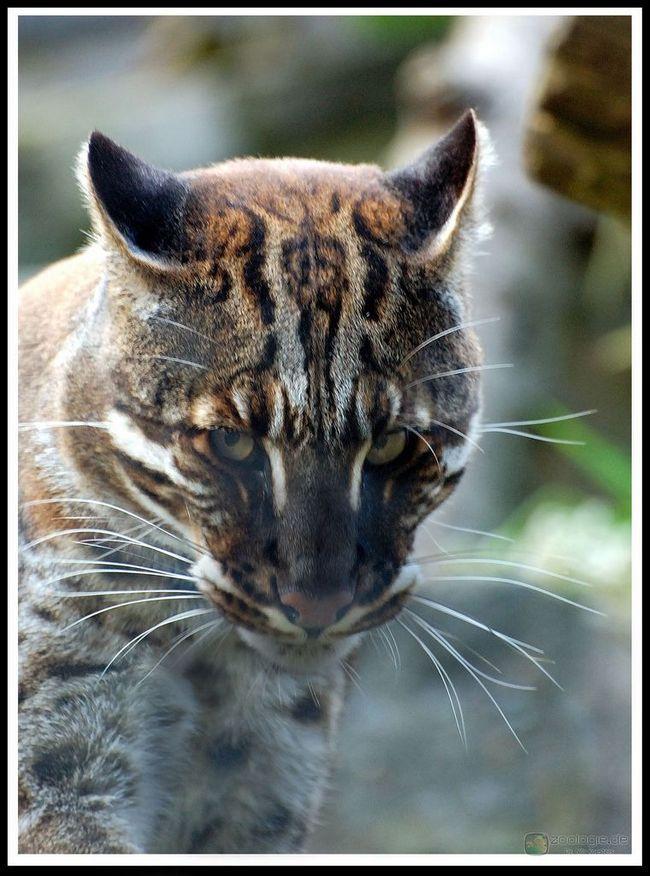 Kočka temminckova, kočka temminckova nebo (Catopuma temmincki).