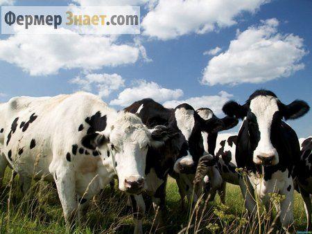 Вся правда о бруцеллезе крупного рогатого скота