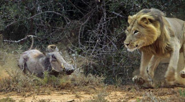 Встреча бородавочника и голодного льва