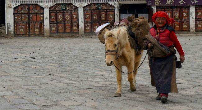 Tibetanski ponija Nightingale odijelo ima veliku izdržljivost i snagu.