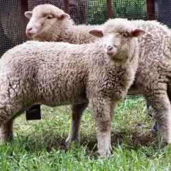 Izbor ovaca za uzgoj