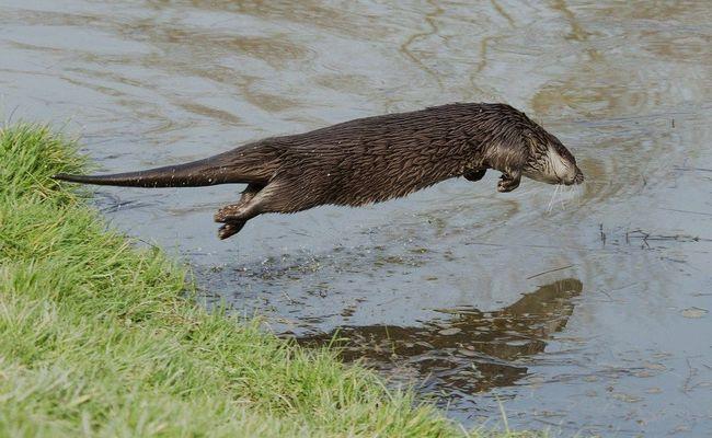 Vidra, skakanje u vodu
