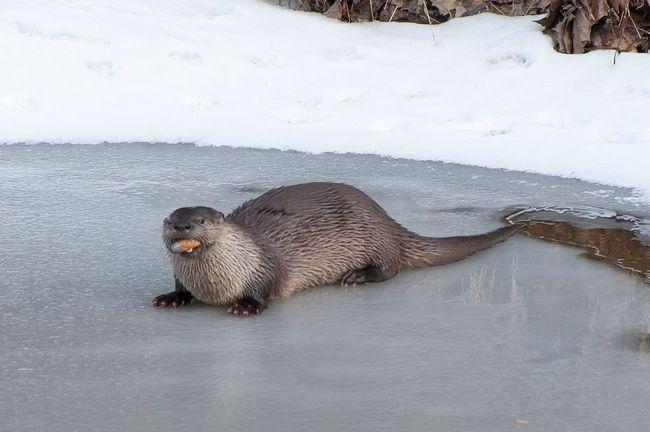 Vidra na rijeci ledu izvađen jede školjke