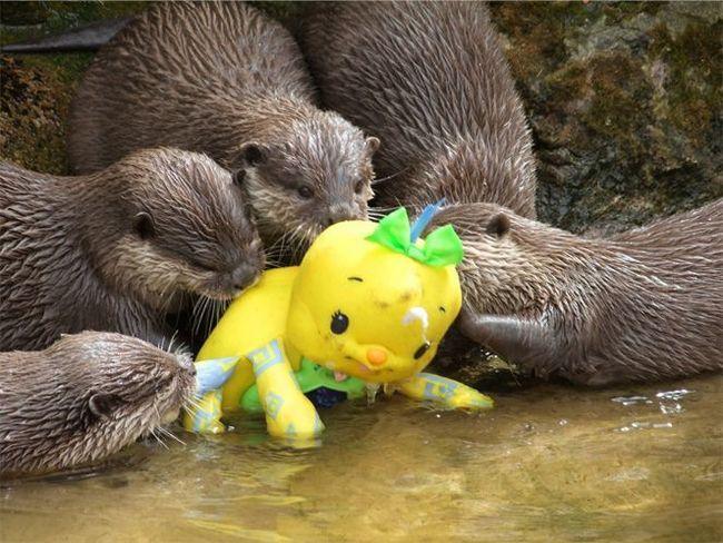 Vidri u zoo istraživanje igračku