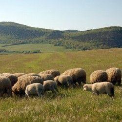Выгода и польза от овец и коз