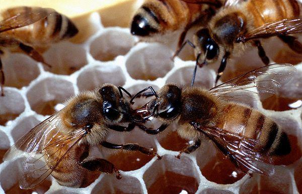 Вымирание пчёл чревато полным упадком сельского хозяйства и голодом