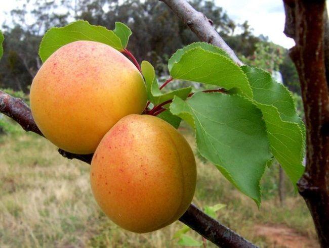 Выращивание абрикоса