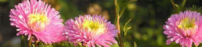 Выращивание астры или какие усилия приложить, чтобы вырастить цветы с большими бутонами