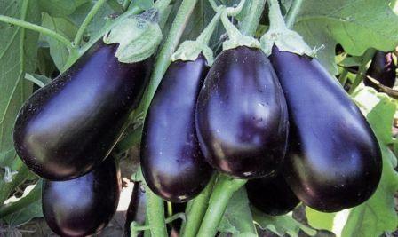 Выращивание баклажанов в открытом грунте, советы огородников