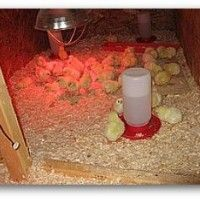Gojenje piščanci