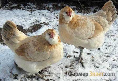 Выращивание домашних кур: важные моменты