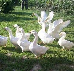 Выращивание гусей породы линда
