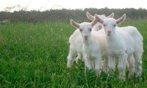 Выращивание и кормление козлят