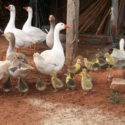 Cultivarea și de reproducție gâște la domiciliu: incubare naturală și artificială