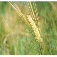 Выращивание ячменя ярового в рисовых севооборотах