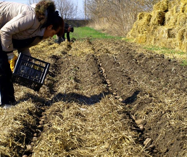 Výsadbe zemiakov pod slamou