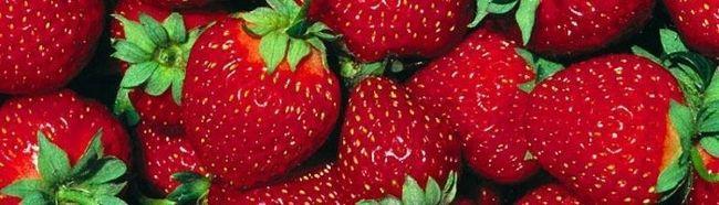 Uzgoj jagoda u kući - osnove tehnologije