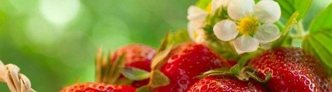 Cultivarea căpșuni în seră - toate detaliile procesului de gradinari cu experiență