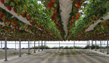 Holandský jahody pristátie technológie, scoutnetworkblog.com