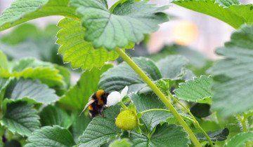 Пчела на цветущей клубнике в теплице, tatar-inform.ru