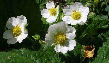 Пчела на цветке клубники, photohost.ru