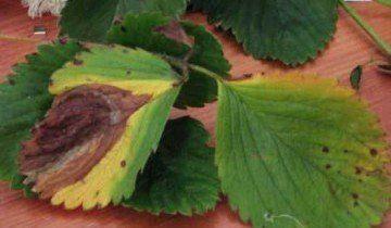 Hnedá škvrna na jahodách, strawberryplants.org