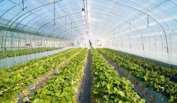 Выращивание клубники в теплице, ameriagroupinc.com