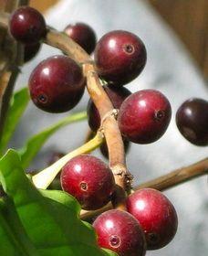 Raste kava stablo kod kuće