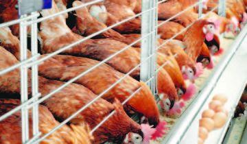 Zdravé kurčatá úspešné podnikanie, financialgazette.co.zw