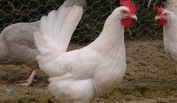 Несушки Ломан Браун, woodside-farm-chickens.webs.com