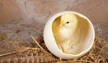 Цыпленок в яйце, bestfon.info