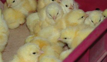 Цыплята в коробке, vsluh.ru