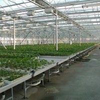 Выращивание огурцов в теплицах