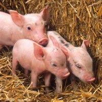 Raste svinje