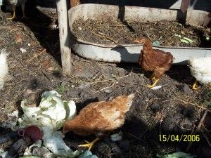 Выращивание ремонтного молодняка кур