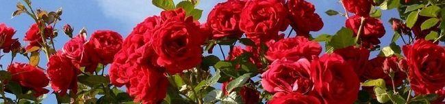 Raste ruža u buket ili novi život rezanog cvijeća