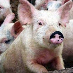 Выращивание свиней в домашних условиях