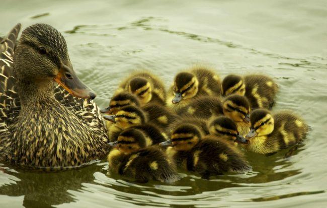 Орнитоз птиц: симптомы, виды, лечение