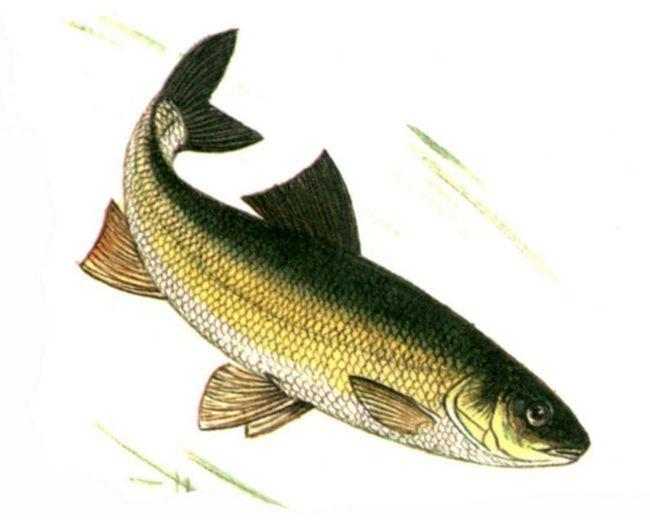 Вырезубы - довольно крупные рыбы.