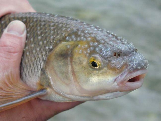 Вырезуб - хищная рыба.