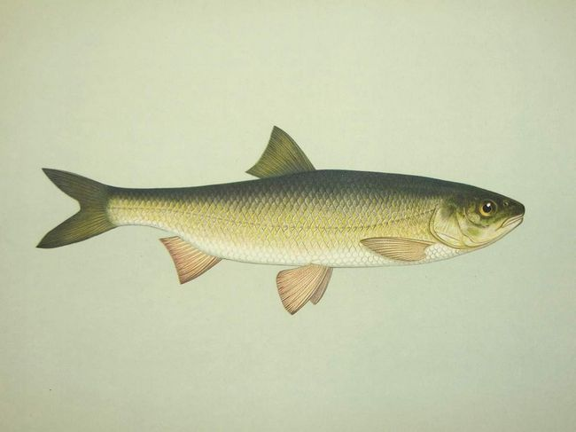 Вырезуб - рыба Каспийского бассейна.