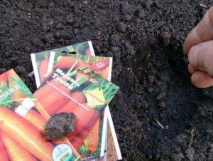 как правильно посадить морковь семенами