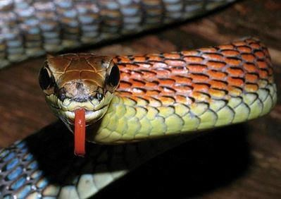 Огненная змея Dendrelaphis kopsteini.