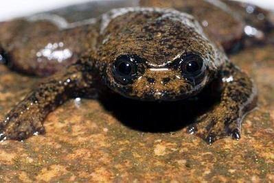 Лишённая лёгких лягушка Barbourula kalimantanensis.