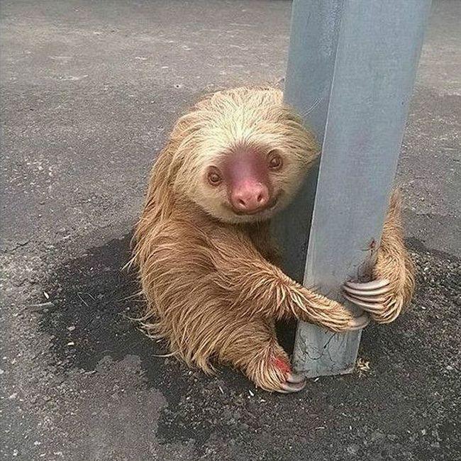 Заблудившийся ленивец покорил пользователей сети по всему миру